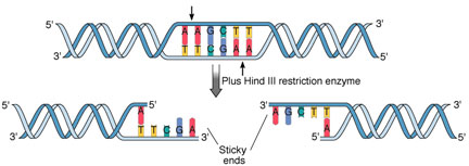 recombinant dna technology restriction enzymes